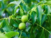 Zrající plody ořešáku královského