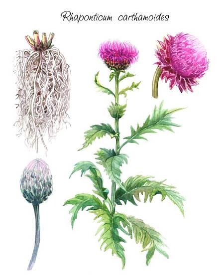 Parcha saflorová, prastará léčivá rostlina