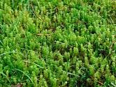 Mech je jednoduchá a starodávná rostlina, která má mělký kořenový systém a snadno se rozroste kdekoliv.