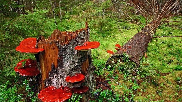 Na lesklokorku můžeme narazit od května do října na pařezech listnatých stromů, především se jedná o topol, dub, platan a ořešák.