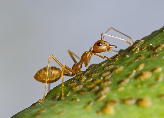 Mravenci jsou užiteční v přírodě, ale doma je mít nechceme