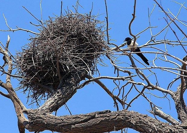 Straky si staví velkolepá hnízda