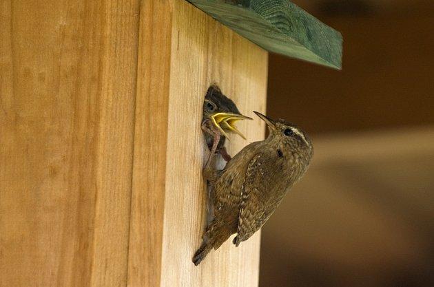 Střízlík krmí hladová ptáčata