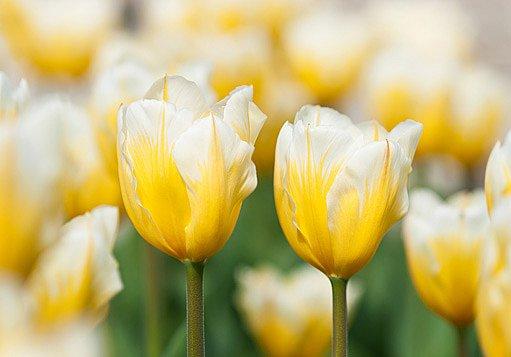 tulipán Fosterův (Tulipa fosteriana)