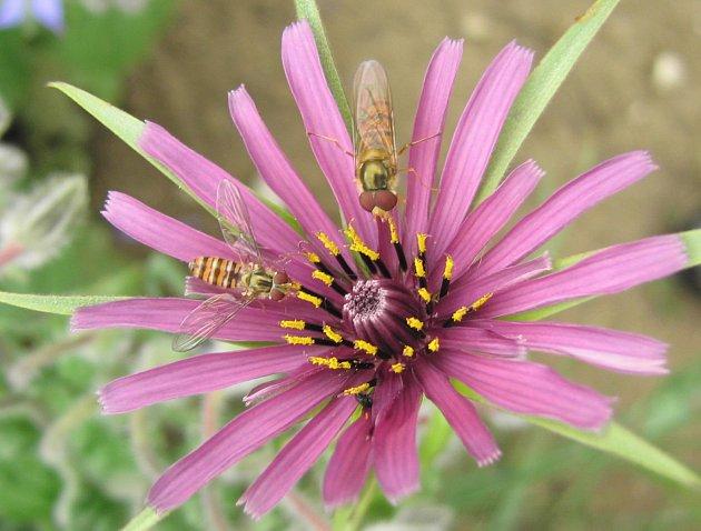 Užitečné pestřenky na květu kozí brady