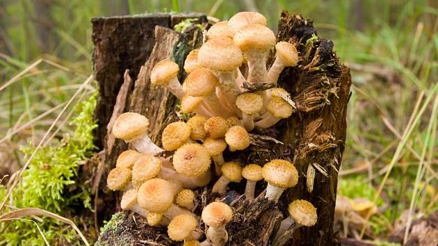 Václavka obecná (Armillaria mellea) patří mezi dřevokazné houby.