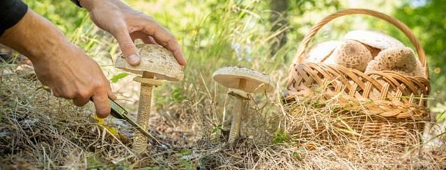 Bedla vysoká je výborná a právem oblíbená houba.