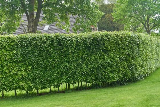 Živý plot ze stříhaných habrů.