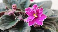Africké fialky kvetou velmi neúnavně.