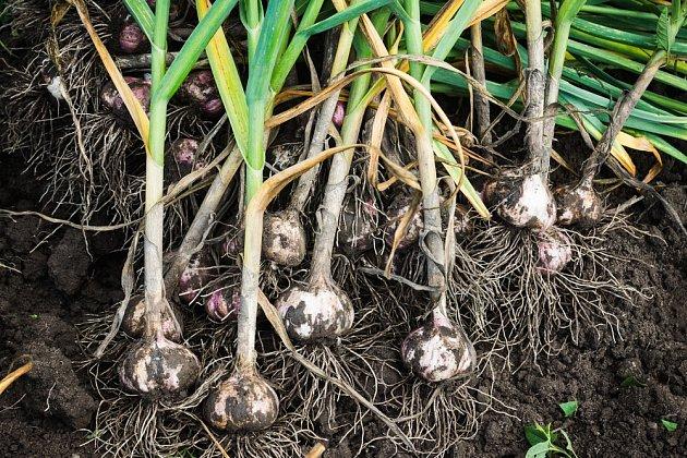 Zárukou kvality může být vlastnoručně vypěstovaný česnek z vlastní zahrady.