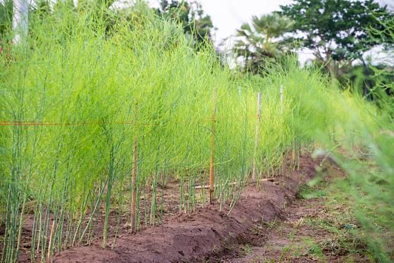 Po skončení sklizně necháme výhony chřestu vyrůst.