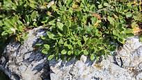 Dryádka osmiplátečná (Dryas octopetala) patří ke stálezelným skalničkám.