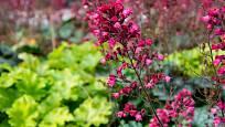 Dlužicha krvavá má ozdobné listy i květy