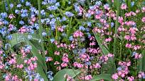 Pomněnky jsou vyšlechtěny také v růžové barvě květů