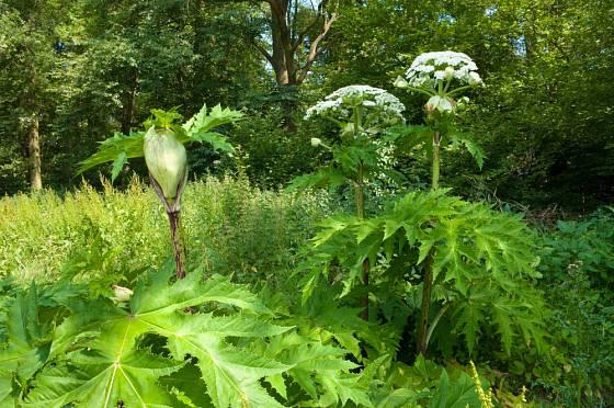 Bolševník velkolepý (Heracleum mantegazzianum)