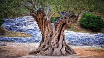 Olivovníky se dožívají úctyhodného věku
