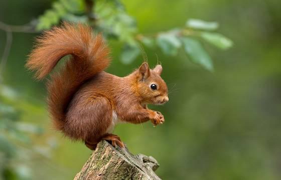 Veverky nás okouzlují svým půvabem i akrobatickými schopnostmi