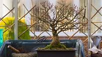 Javorový bonsaj přezimující ve skleníku