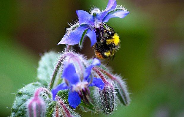 Modré květy vysokých brutkáků jsou pro včely i čmeláky magnetem