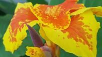 Za dobrou živnou půdu se kany odmění nádhernými květy.