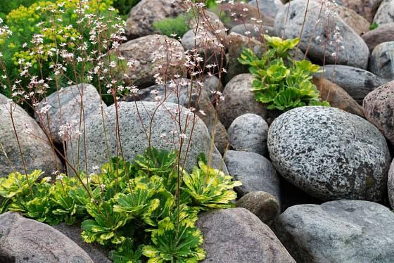 Lomikámen stinný, Saxifraga umbrosa, je zajímavá skalnička, kterou můžeme množit dceřinými rostlinami