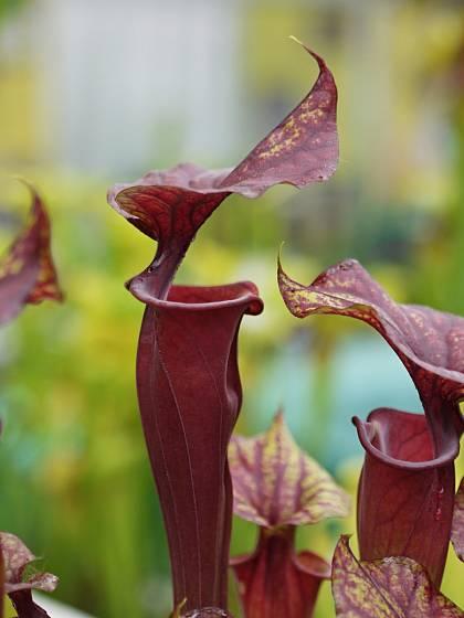 Špirlice Sarracenia flava