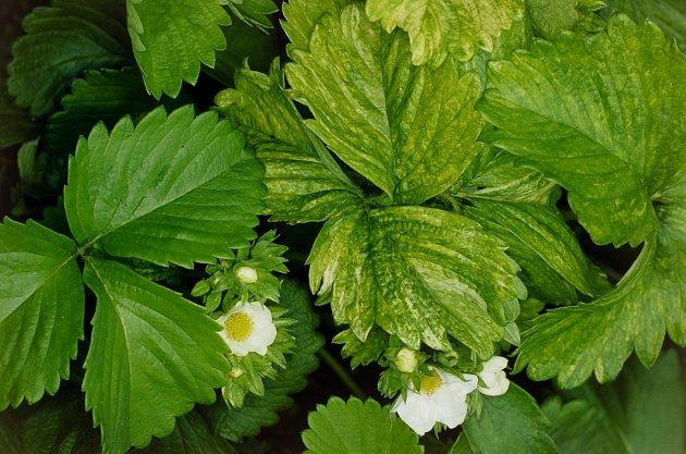 Virózy se projevují zakrslým či nevyvinutým vzrůstem nebo abnormálním zabarvením listů, někdy ideformací listů akvětů.