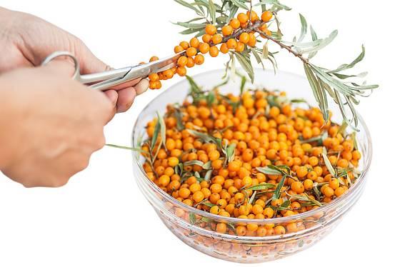 Ruční obírání plodů rakytníku je nepraktické, použijte raději nůžky.