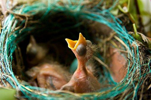 mláďata vlaštovky