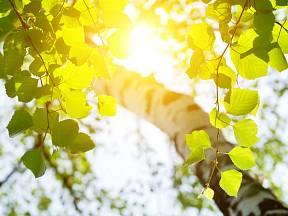 Bříza prozářená letním sluncem.