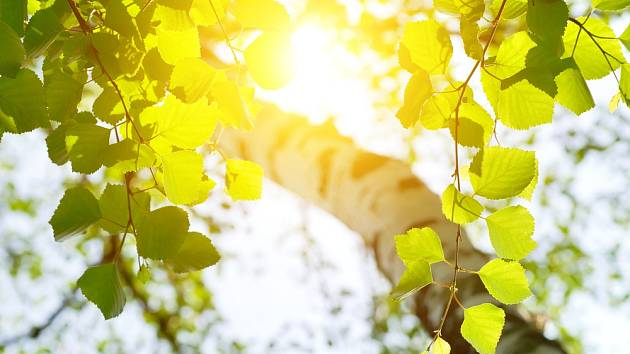 Bříza prozářená sluncem