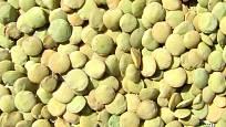 Domácí osivo čočky odrůdy Valtické haléřové