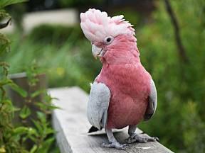 kakadu růžový (Eolophus roseicapilla)