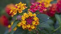Libora měňavá mění své barvy v průběhu vývoje květů.