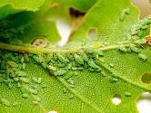 Mšice patří k nepříjemným škůdcům rostlin.