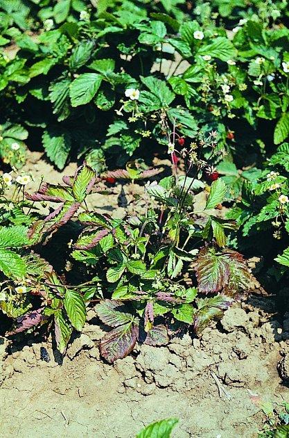 červená hniloba kořenů jahodníku, Phytophtora fragariae