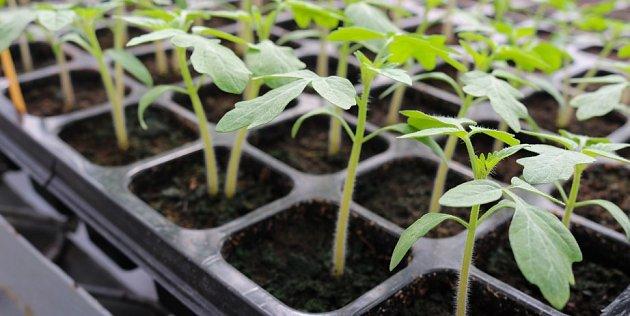 Když semena vysejete do sadbovače, budou mít semenáče dostatek místa k růstu