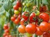 Dozrávající plody rajčat.