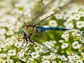 Vysaďte ty správné květiny, které přilákají skvělého pomocníka. Je to vážka, která zasadí hlavní úder proti komárům!