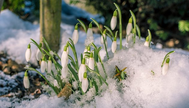 Sněženky nezničí sníh ani mráz