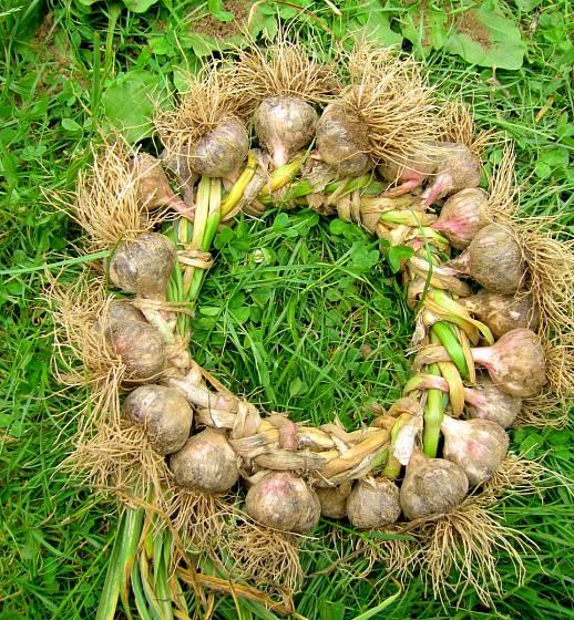 Spletený věnec odrůdy Bzenecký paličák