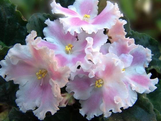 Africká fialka, varieta Zephyr se zvlněnými okvětními plátky