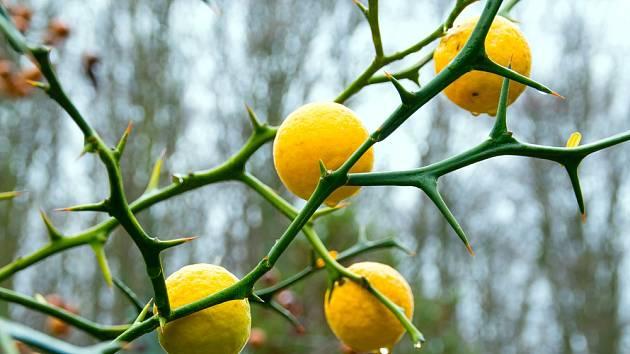 Nejotužilejší z citrusů - citronečník trojlistý (Poncirus trifoliata).