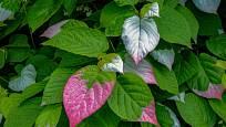 Některé kultivary mini kiwi (Actinidia kolomikta) mají atraktivně zbarvené listy.