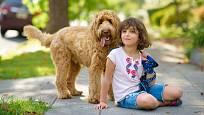 Labradoodle vyniká skvělým vztahem k dětem.
