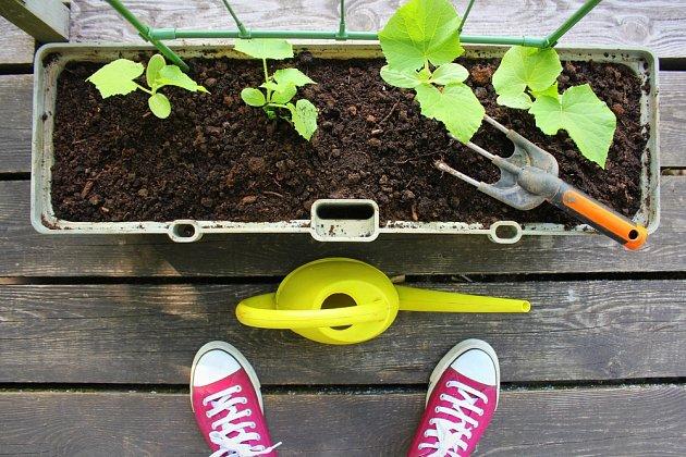 Některé odrůdy okurek můžeme pěstovat i na balkoně.