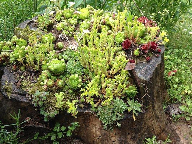 Ze zahradních sukulentů snadno vytvoříte na pařezu atraktivní kompozici.