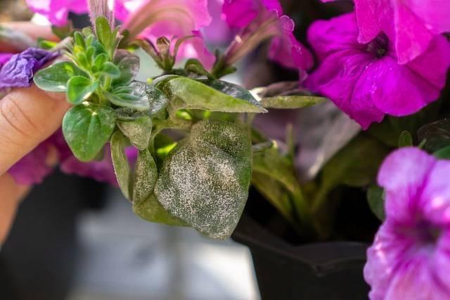 Padlí v podobě šedavého či bělavého moučného povlaku se může objevit na listech petúnií a surfinií.