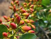 Řečík pistáciový, zvaný též pistácie pravá, plodí oblíbené pistáciové oříšky.