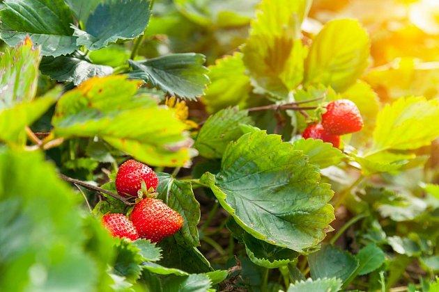 Zdravé úrody jahod dosáhneme i tím, že k nim vysázíme nějakou společenskou plodinu